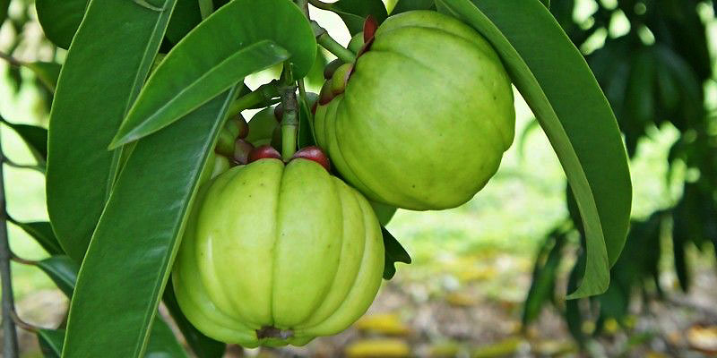 Garcinia Cambogia Walmart Archives Explore The Island Of